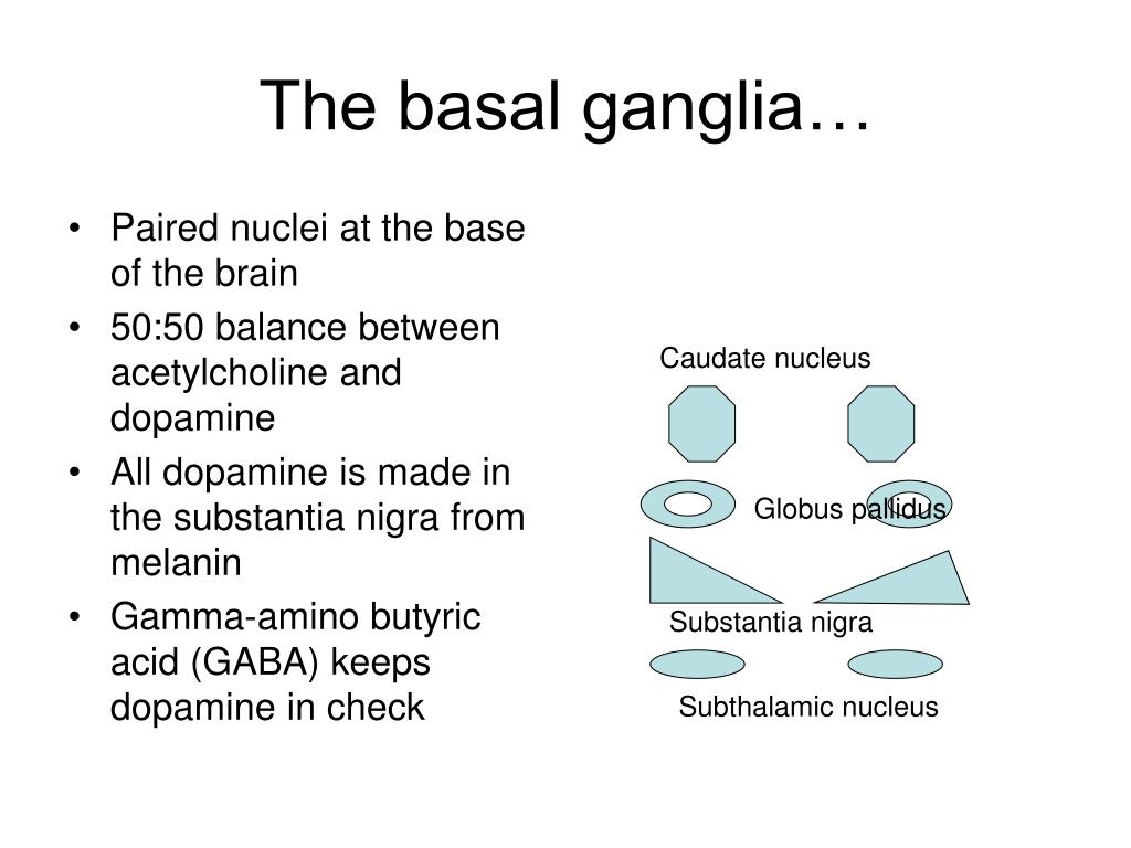 Paired nuclei at the base of the brain