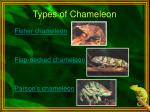 types of chameleon
