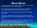 river birch23