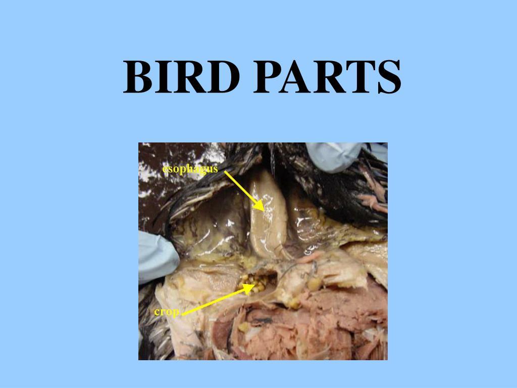bird parts l.