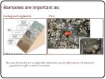 barnacles are important as