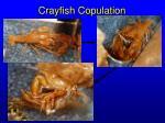 crayfish copulation