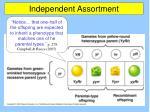 independent assortment5