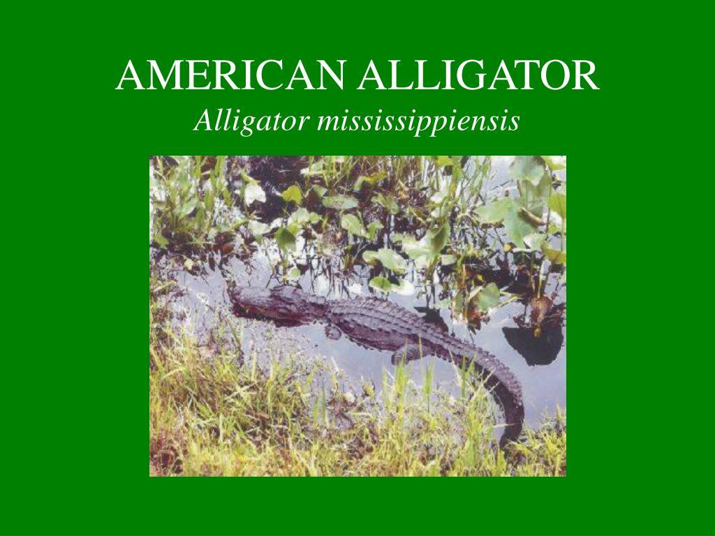 american alligator alligator mississippiensis l.