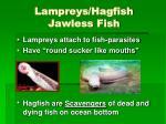 lampreys hagfish jawless fish
