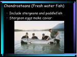 chondrosteans fresh water fish