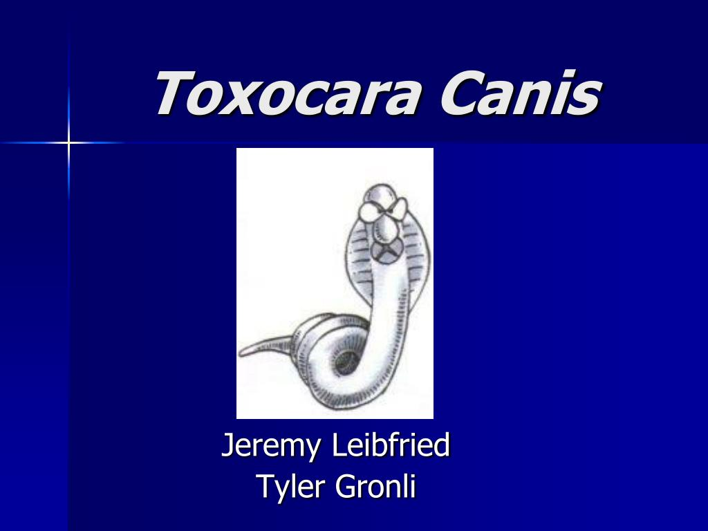 toxocara canis l.