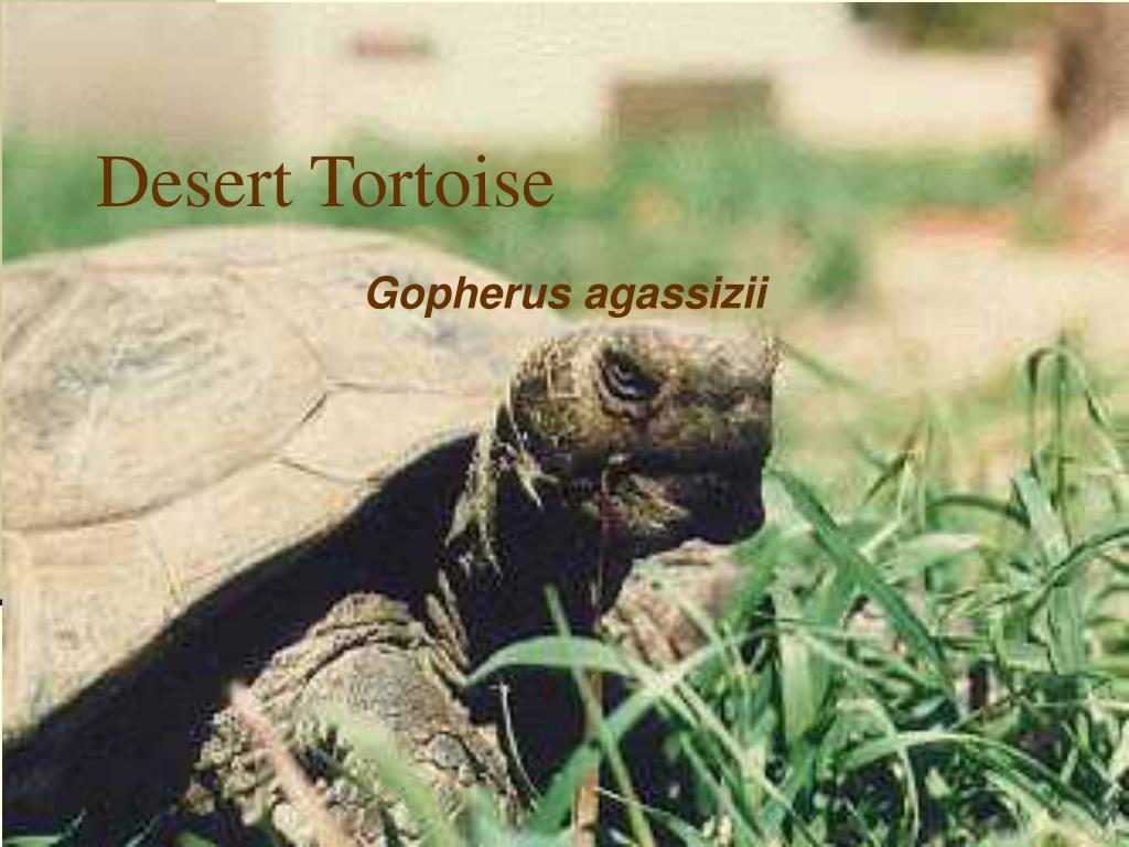 desert tortoise l.