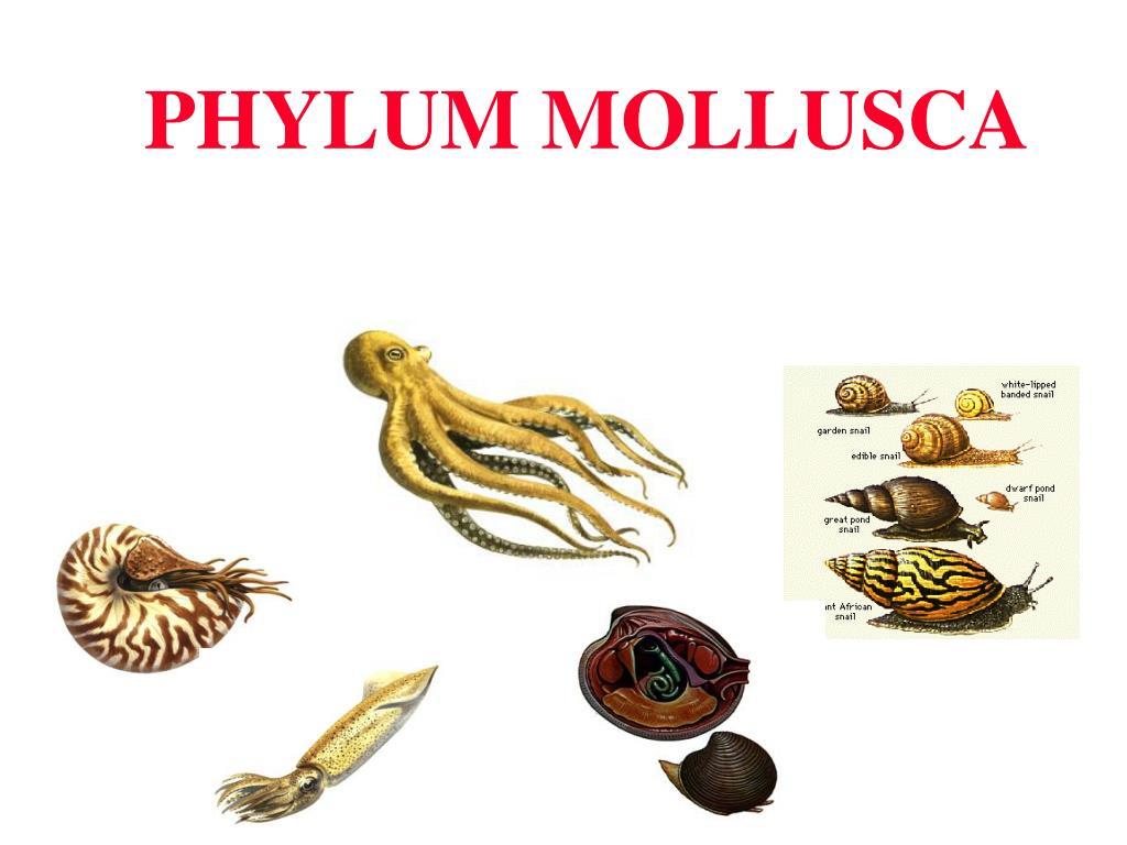 phylum mollusca l.