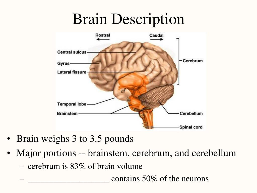 Brain Description
