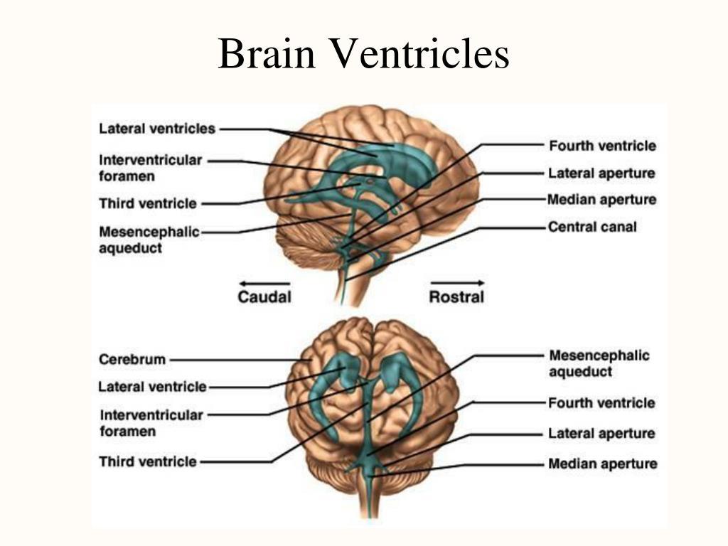 Brain Ventricles
