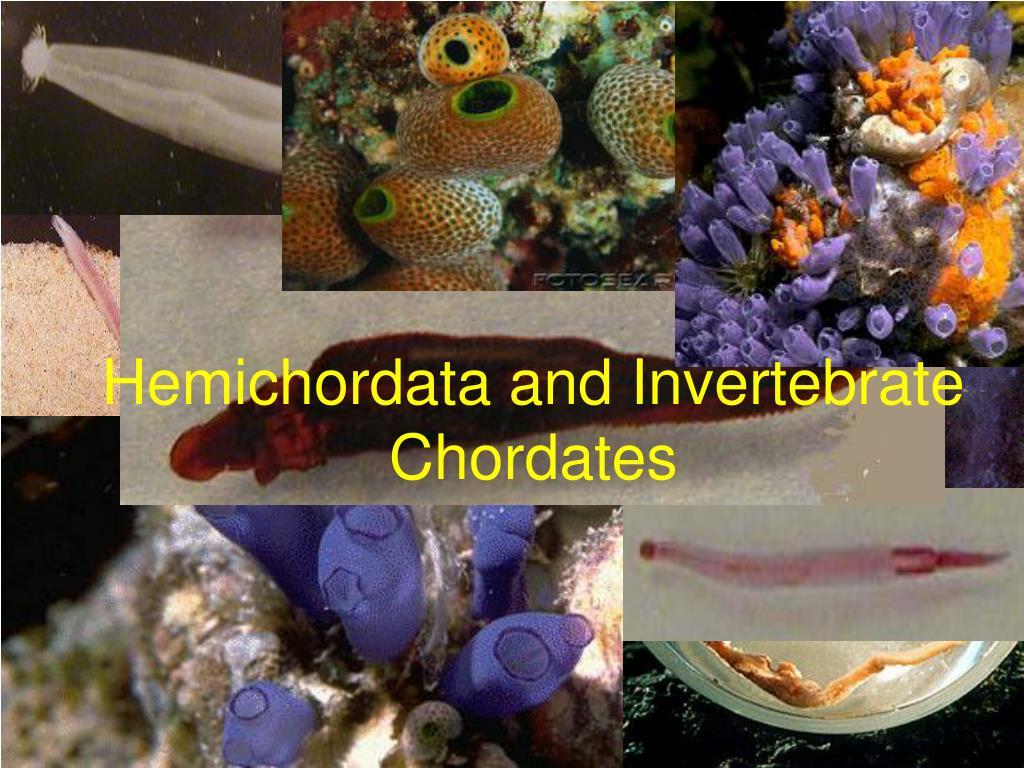 hemichordata and invertebrate chordates l.