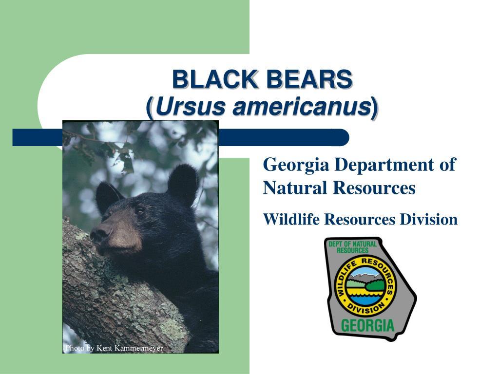 black bears ursus americanus l.