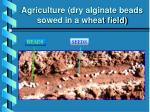 agriculture dry alginate beads sowed in a wheat field