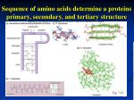sequence of amino acids determine a proteins primary secondary and tertiary structure