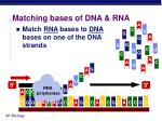 matching bases of dna rna