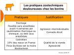 les pratiques zootechniques douloureuses chez les bovins