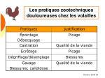 les pratiques zootechniques douloureuses chez les volailles