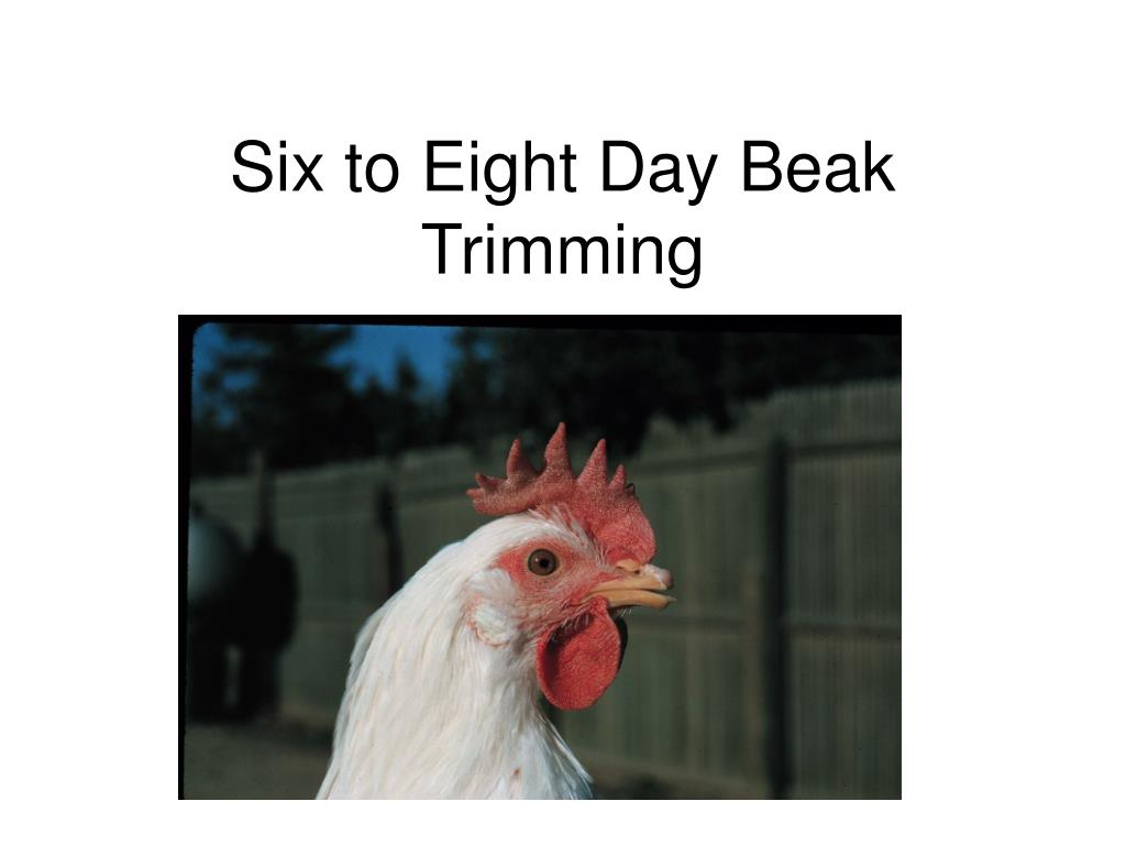six to eight day beak trimming l.