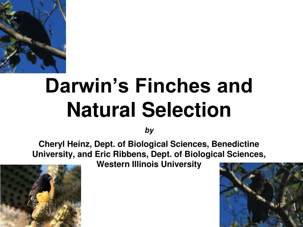 darwin s finches and natural selection l.
