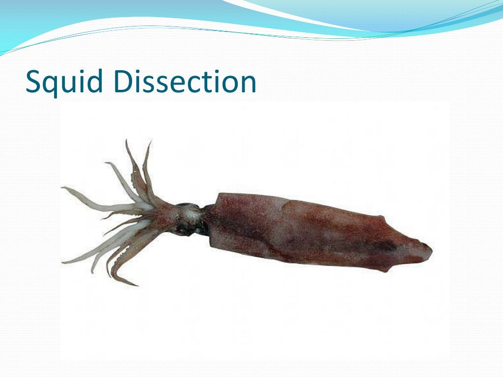 squid dissection l.