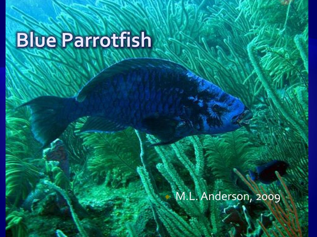 blue parrotfish l.