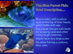 the blue parrot fish brief description
