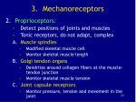 3 mechanoreceptors23