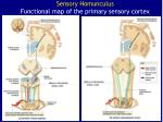 sensory homunculus functional map of the primary sensory cortex