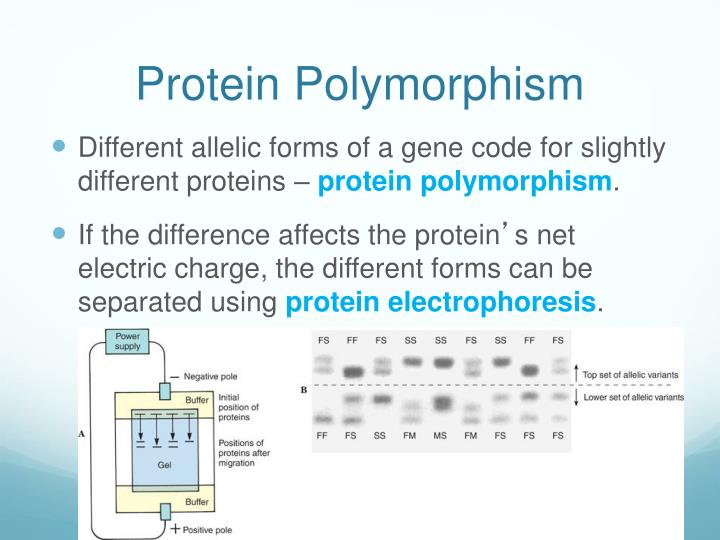 Protein Polymorphism