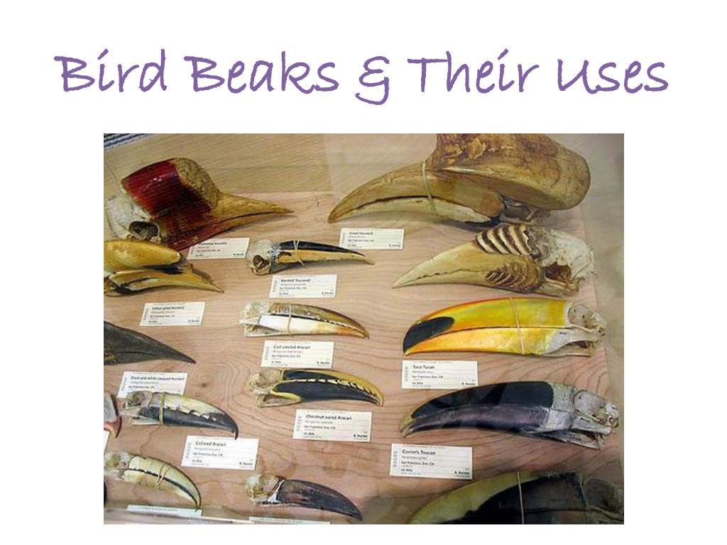 bird beaks their uses l.