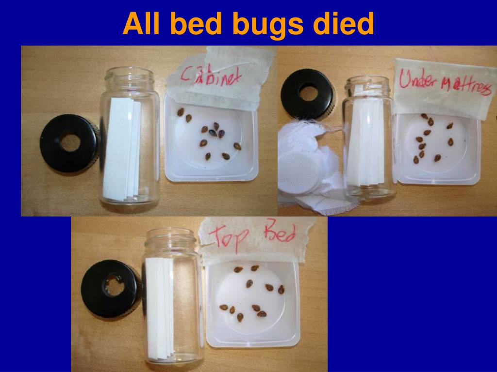 All bed bugs died