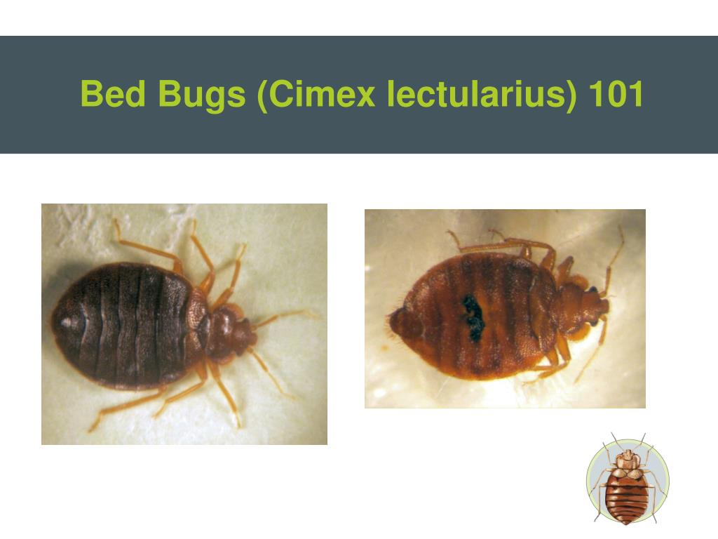 How Long Do Bed Bugs Stay Alive With
