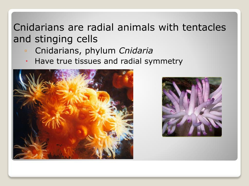 Cnidarians are radial animals with tentacles and stinging cells