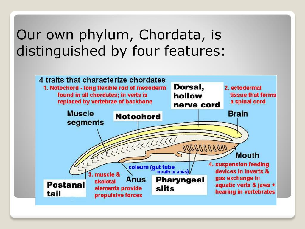 Our own phylum, Chordata, is distinguished by four features: