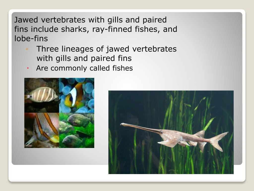 Jawed vertebrates with gills and paired fins include sharks, ray-finned fishes, and lobe-fins