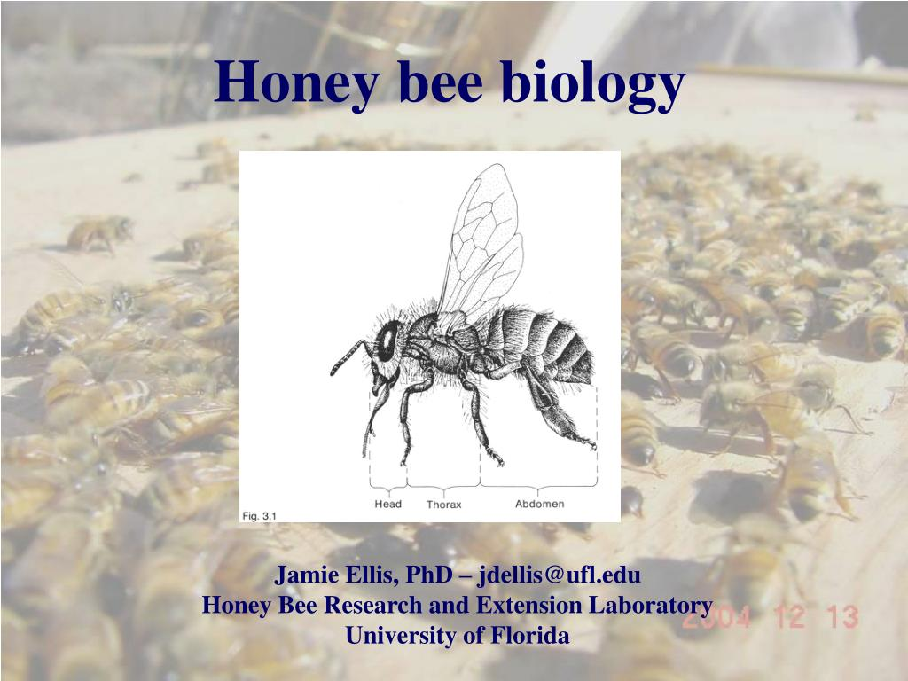 honey bee biology l.
