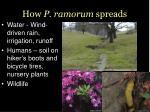 how p ramorum spreads