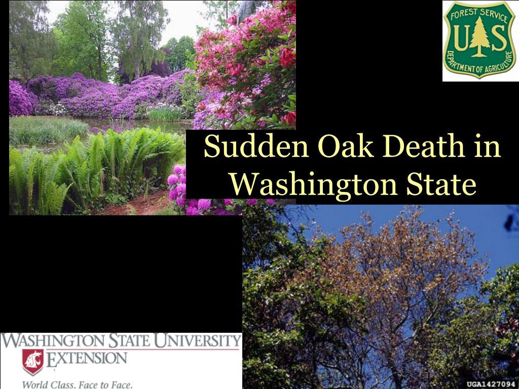 sudden oak death in washington state l.