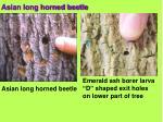 asian long horned beetle23