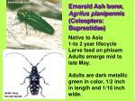 emerald ash borer agrilus planipennis coleoptera buprestidae