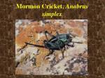 mormon cricket anabrus simplex