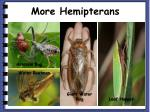 more hemipterans