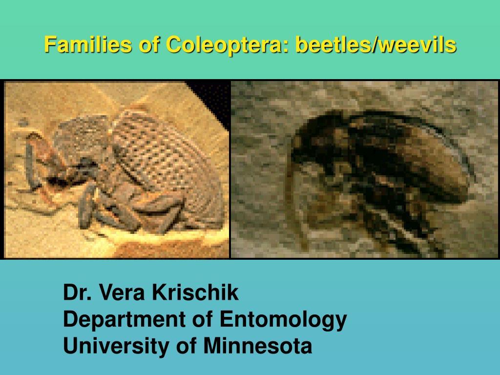 families of coleoptera beetles weevils l.