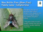 blue bottle flies blow flies family name calliphoridae