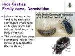 hide beetles family name dermistidae
