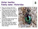 hister beetles family name histeridae