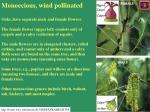 monoecious wind pollinated