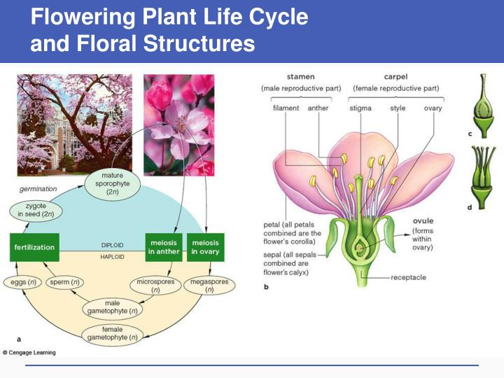 Flowering plant life cycle and floral structures