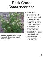 rock cress draba arabisans